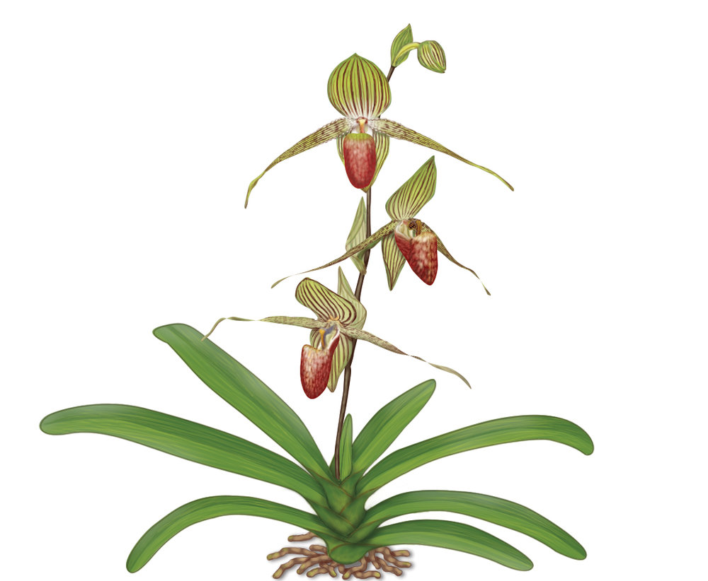 Paphiopedilum rothschildiaum   Brooker  Principles of Biology  © McGraw-Hill © MPS