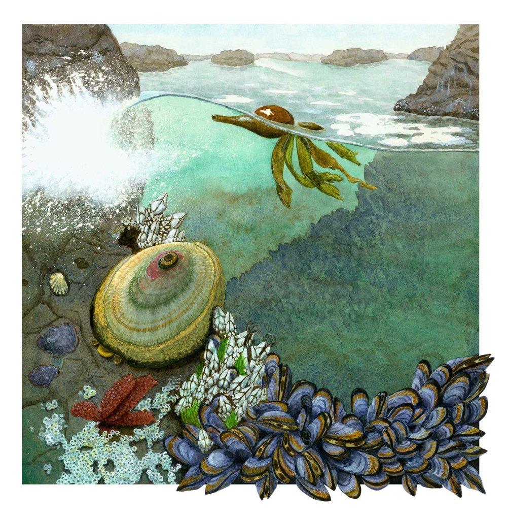 California Tide Pool Habitat  Science Illustration Program University of California, Santa Cruz