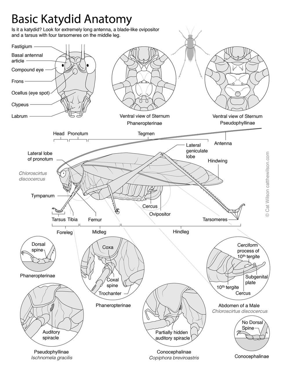 Guide to Barro Colorado Island Katydid Subfamilies   Created for Dr. Laurel Symes at Cornell, Dr. Hannah ter Hofstede at Darthmouth and the Darthmouth field course