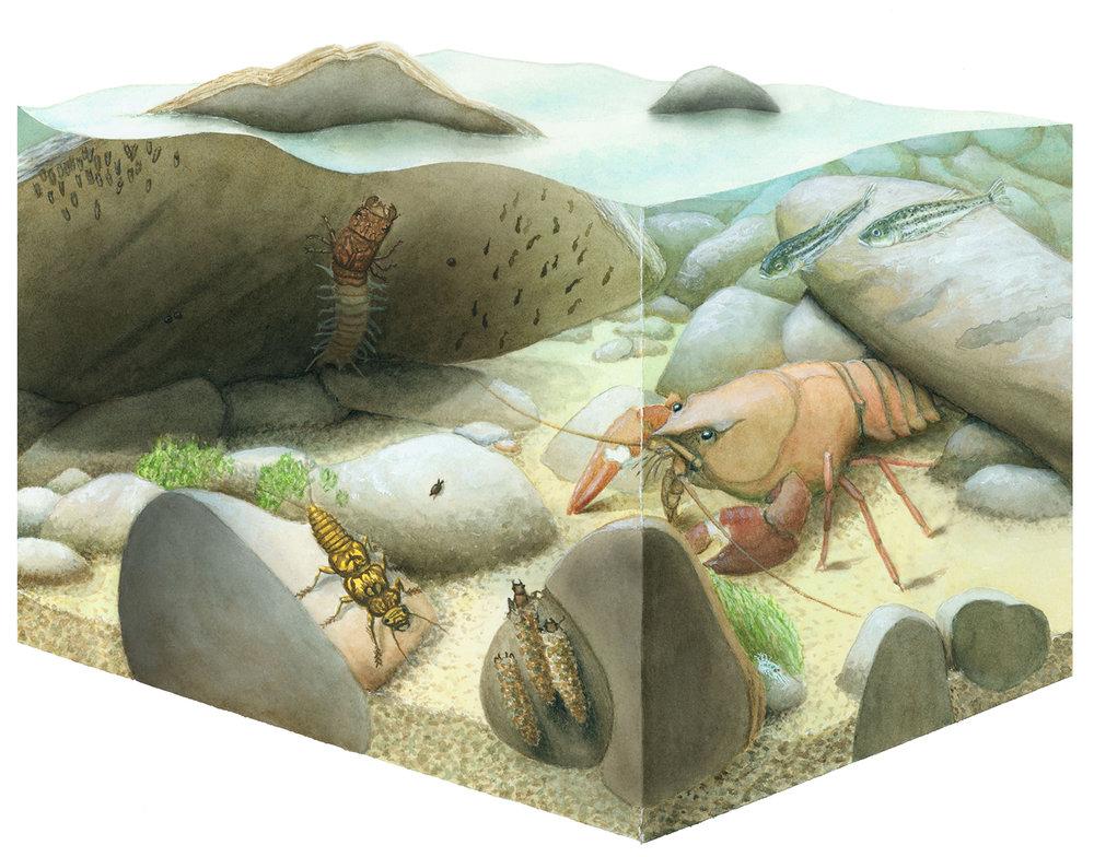 Ozark Stream Habitat  Science Illustration Program University of California, Santa Cruz
