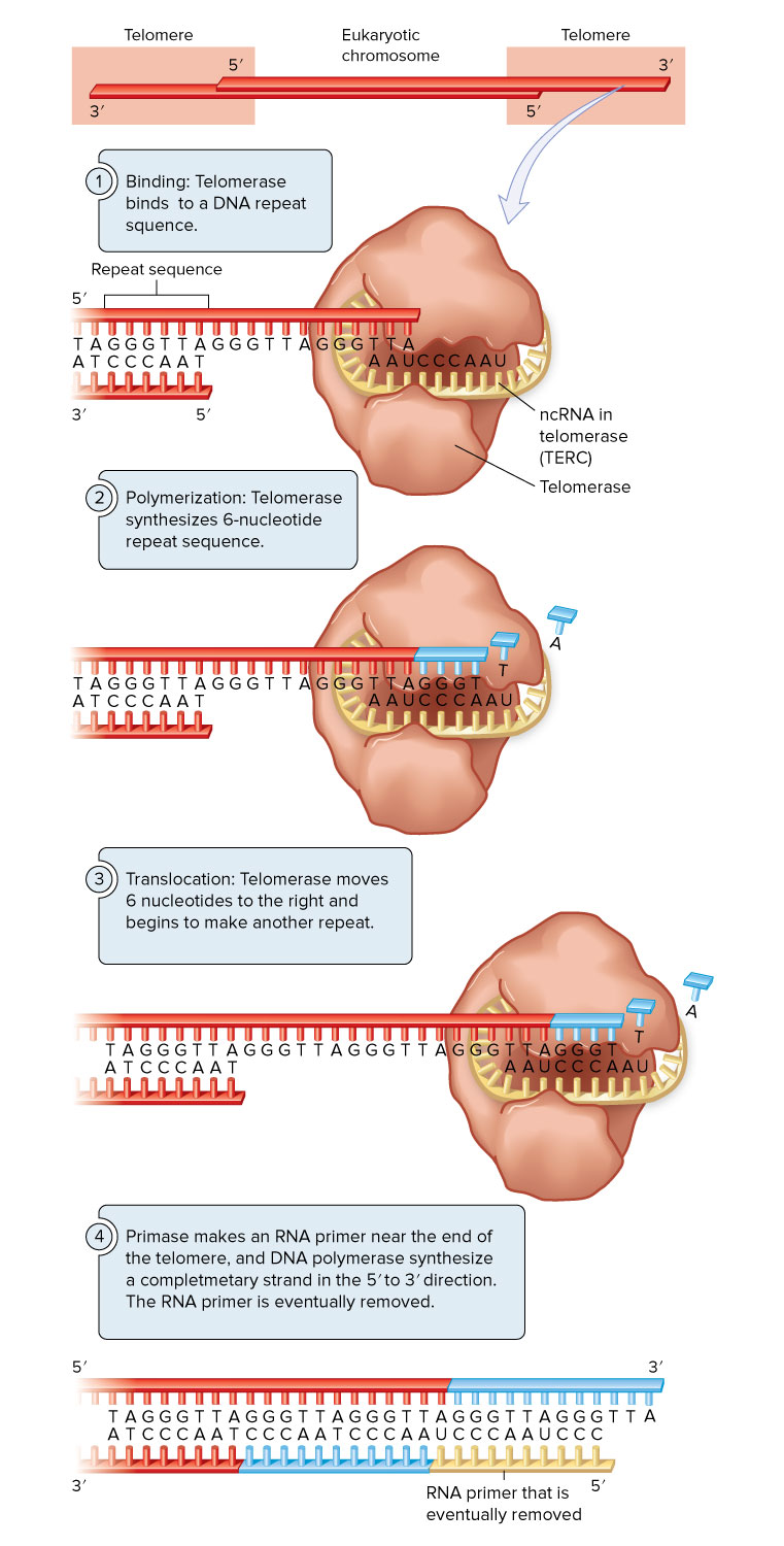 Telomerase for MPS  Principles of Biolog y, 2e by Brooker, © McGraw- Hill