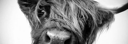 hairy-cow.jpg