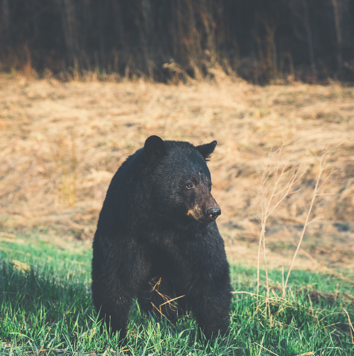 One of the many black bears I saw on this trip - Canon 5DMKIII 70mm - 1/800 @ f3.2, ISO 640