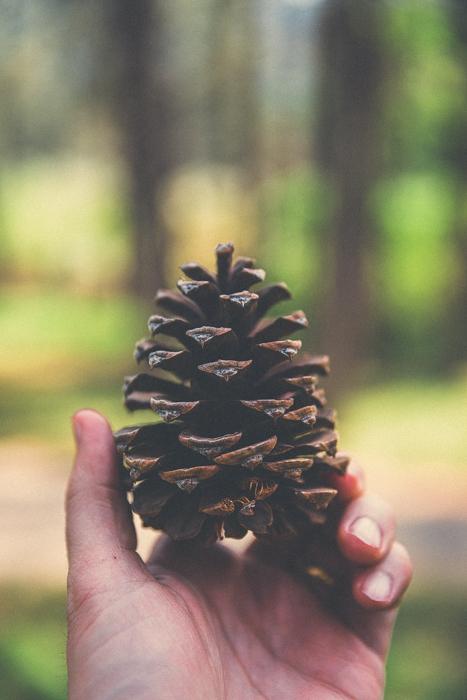 Massive pine cones. Canon 5DMKIII 59mm - 1/125 @f2.8, ISO 100