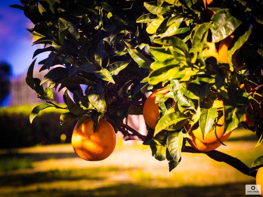 Olive trees-6.jpg