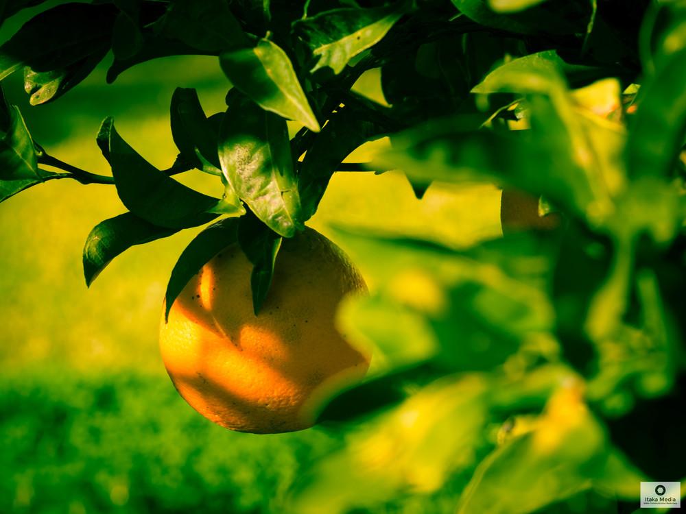 Olive trees-7.jpg