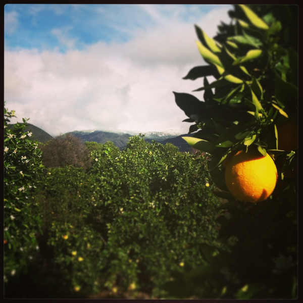 Oranges are the sweet perfume of love in Ojai, Each Spring the air is infused with the boquet of their intoxicating blossoms.