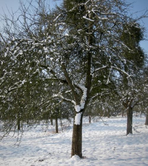 apple trees snow_Fotor_Fotor.jpg