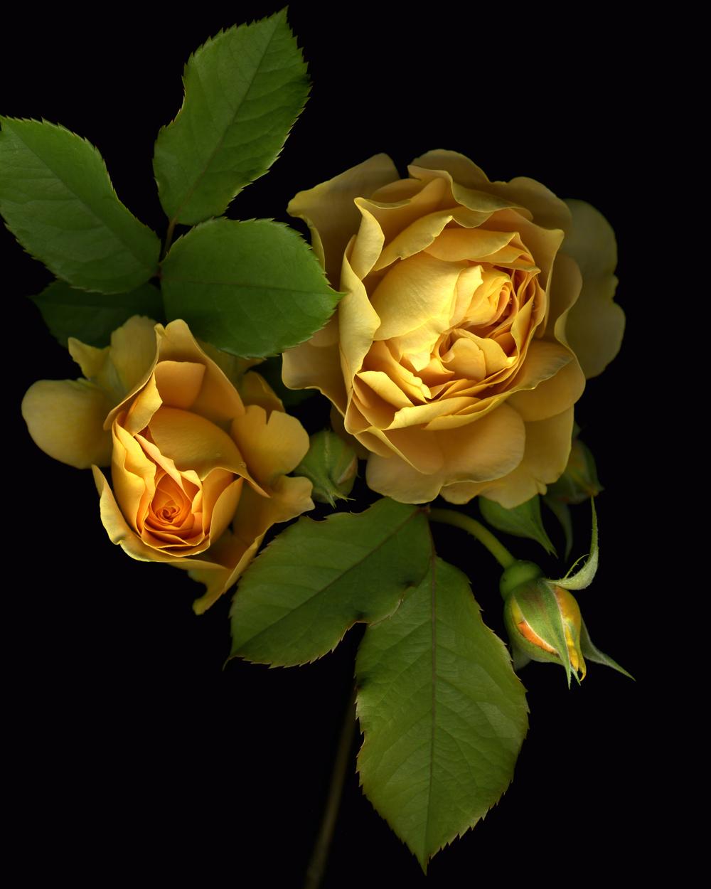 Yellow Roses, 2009