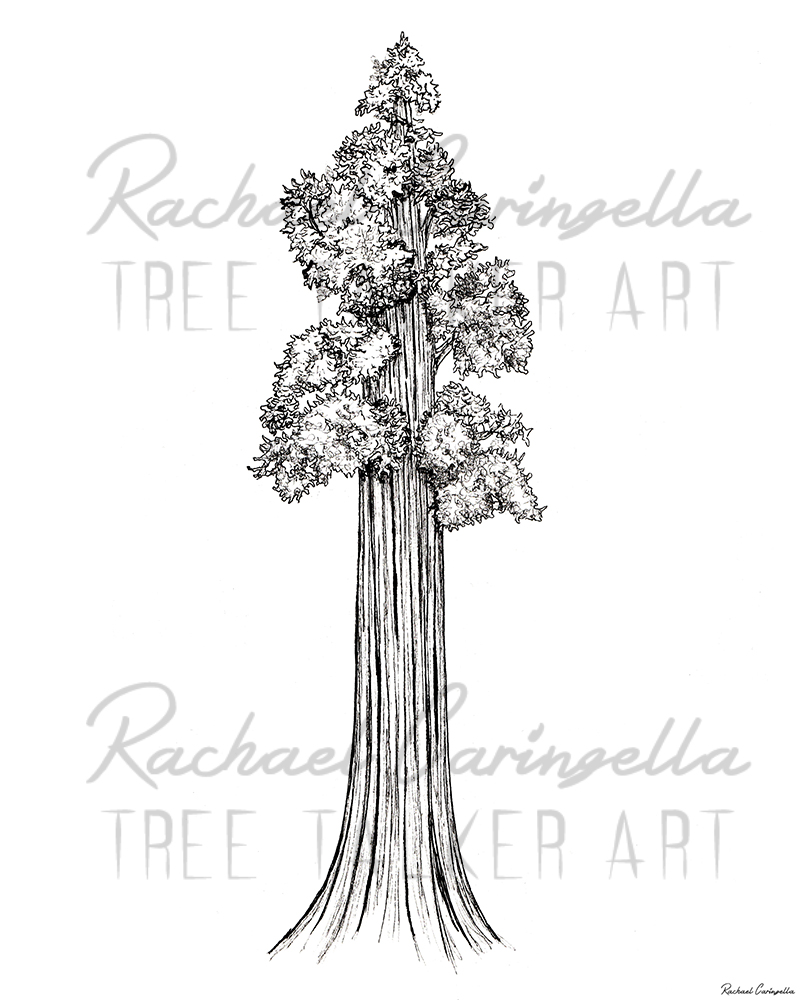 Giant sequoia tree | Tree Talker Art