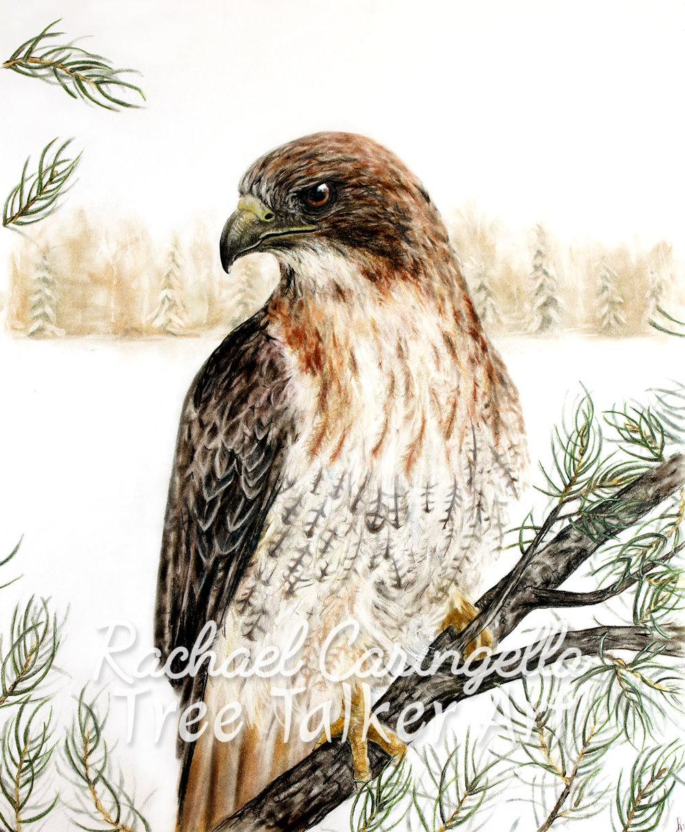 Red Tail Hawk Art | Tree Talker Art | Rachael Caringella