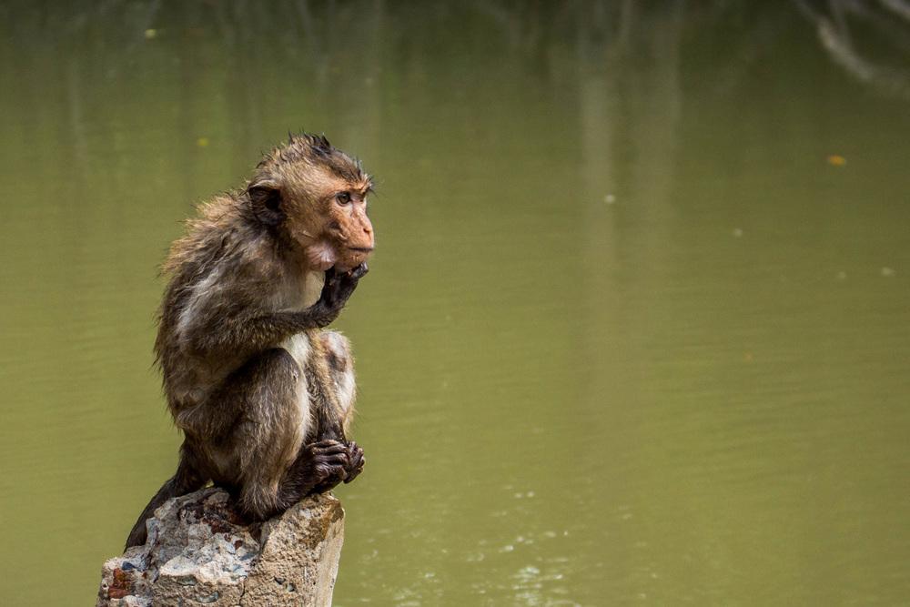 Pondering Macaque  |  Ho Chi Minh, Vietnam