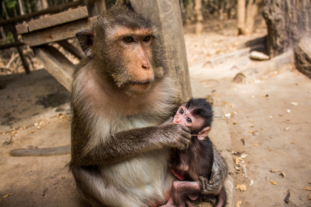 Momma and Baby Macaque | Vietnam