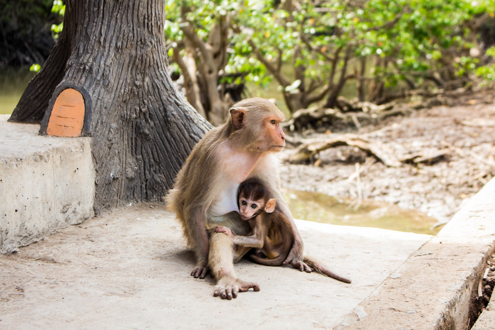 Macaque Mother | Vietnam