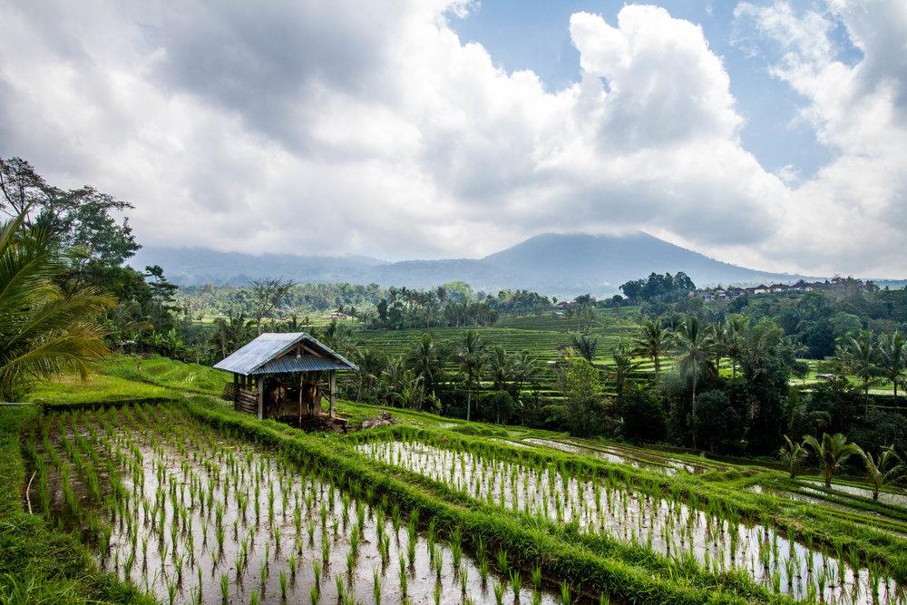Jatiluwih Rice Terraces | Bali, Indonesia