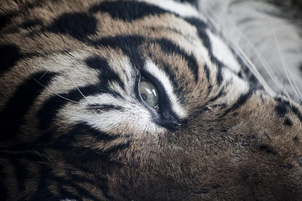 tigereye.jpg