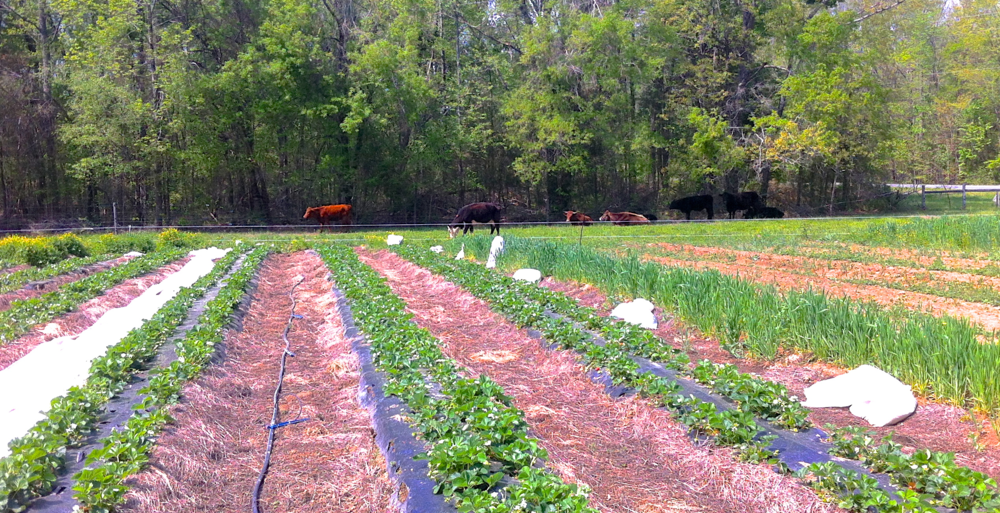 Cows grazing in the back pasture and this year's strawberry crop in the foreground.