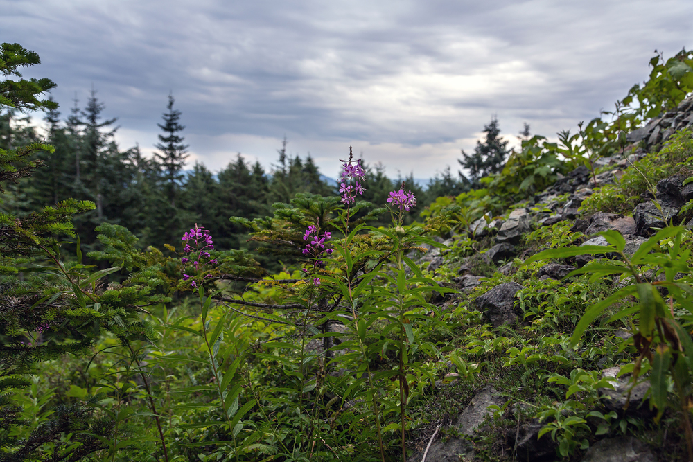 Wild flowers and plants on Mount Si.
