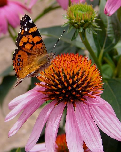 E- purpurea w-butterfly.jpg