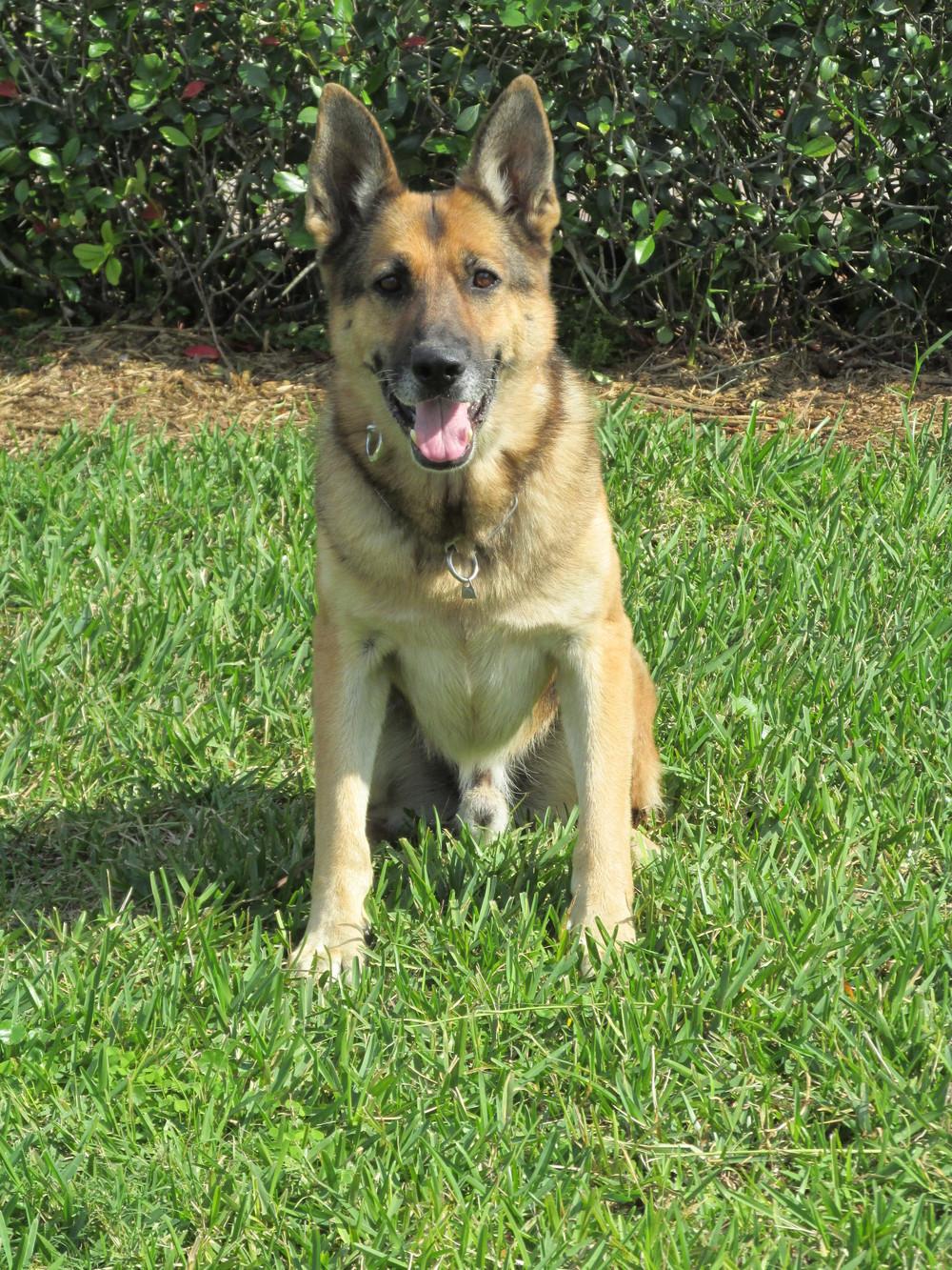 Stuart Police Canine Officer Cody; 3/2014