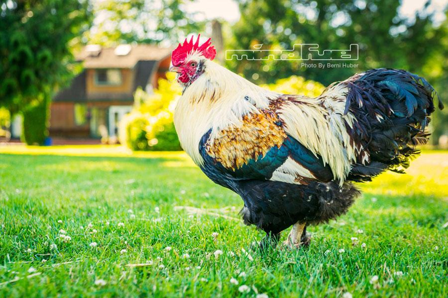 rooster_1.jpg