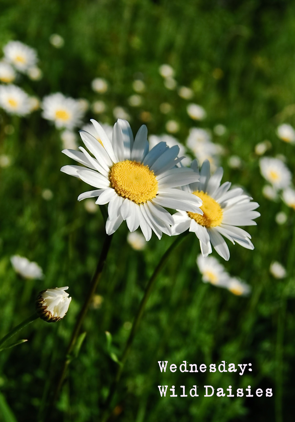 Daisies Purity And Innocence Wolf Whistle Blog