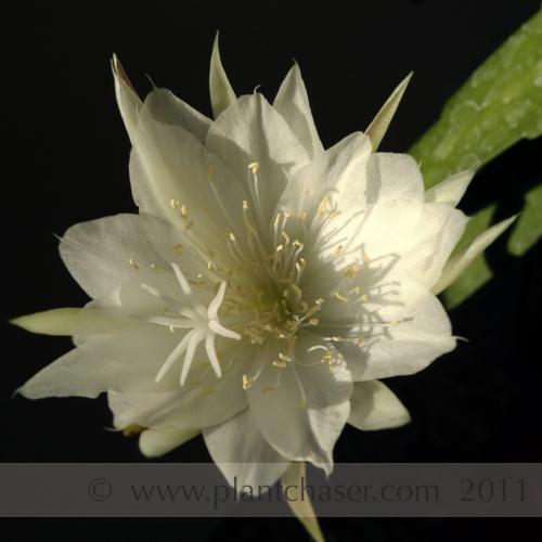 Epiphyllum-oxypetalum-2.jpg