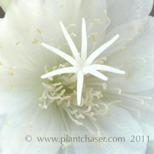 Epiphyllum-oxypetalum-9.jpg