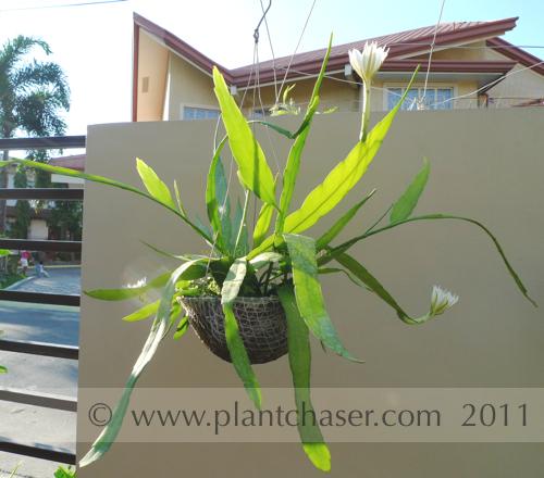 Epiphyllum-oxypetalum-8.jpg