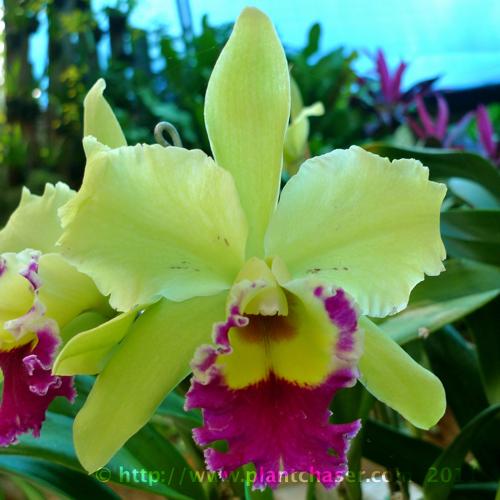 blc-brassolaeliocattleya-malvarosa-green-mystic-joey.jpg
