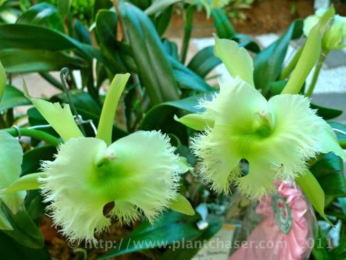 orchid-species-2.jpg
