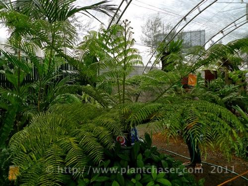 angiopteris-palmiformis-variegata-1.jpg