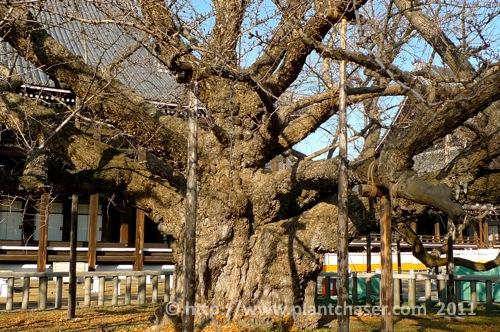 kyoto-nishi-hongwanji-tree-2.jpg