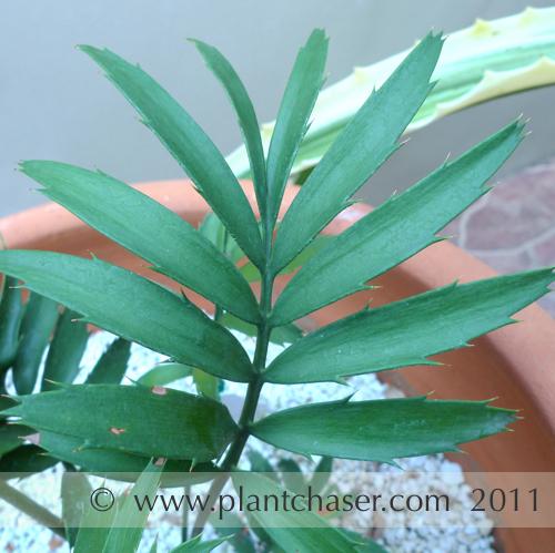 encephalartos-altensteinii-5.jpg