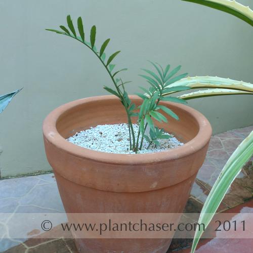 encephalartos-altensteinii-3.jpg