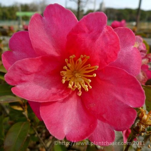 japan-camellia-sasanqua.jpg