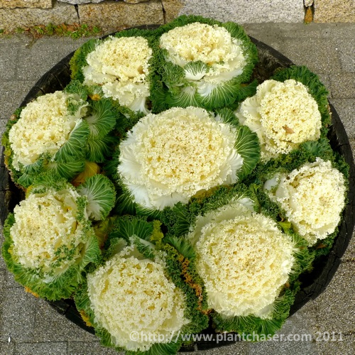 japan-osaka-brassica-oleracea.jpg