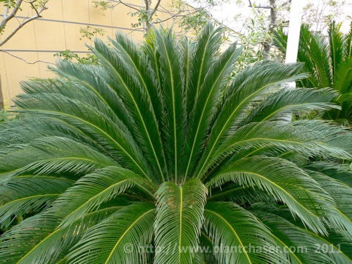 namba-parks-garden-cycas-revoluta-2.jpg