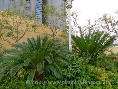 namba-parks-garden-cycas-revoluta.jpg