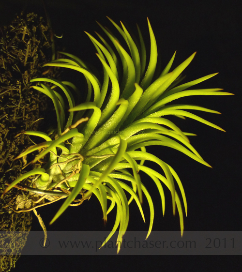 tillandsia-ionantha-druid-single-3.jpg