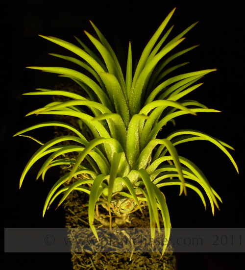 tillandsia-ionantha-druid-single-2.jpg
