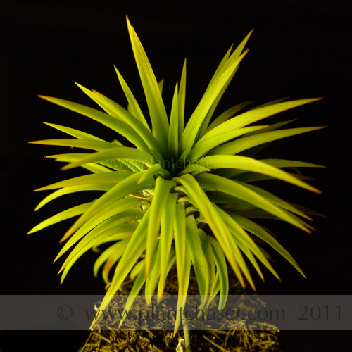 tillandsia-ionantha-druid-single-1.jpg