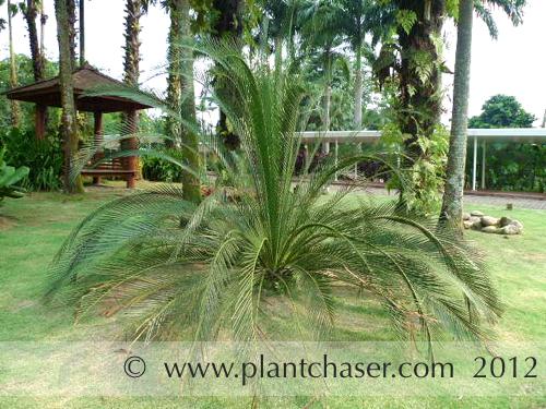 taman-botani-putrajaya-syzygium-pycnanthium.jpg