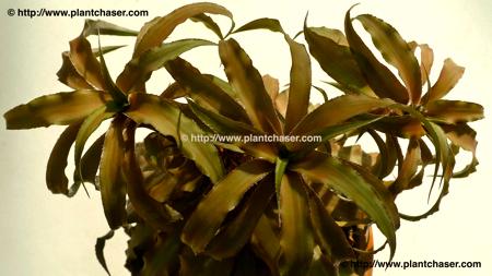 Cryptanthus bivitattus