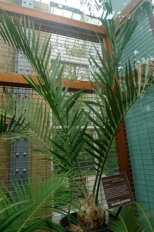 Encephalartos dyerianus