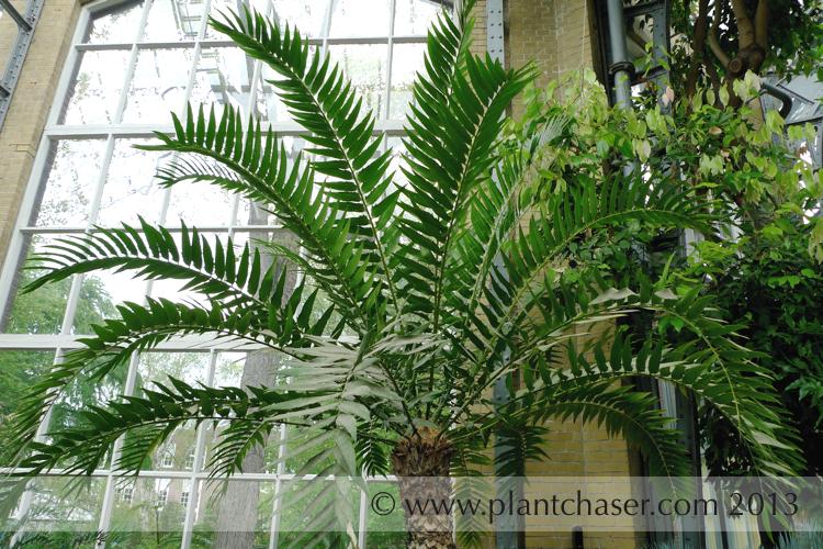 Encephalartos-woodii-04.jpg