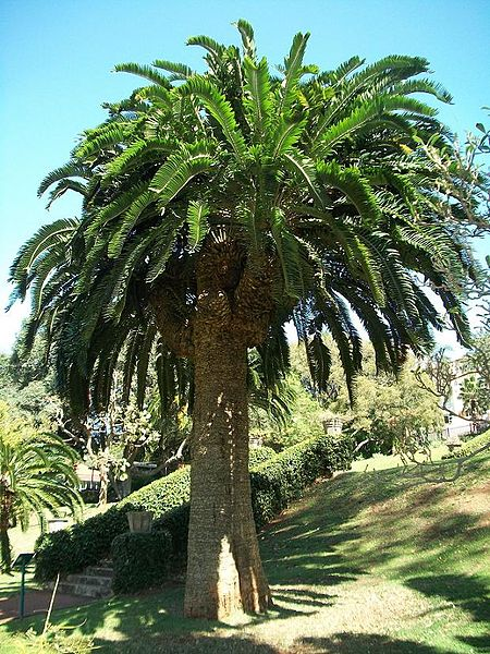 One of the original stems of Wood's Cycad in the Durban Botanic Gardens.  Photo taken September 2010.  Attribution:  Purves, M.  http://en.wikipedia.org/wiki/Encephalartos_woodii   Used under Creative Commons Attribution - Share Alike 3.0 Unported.