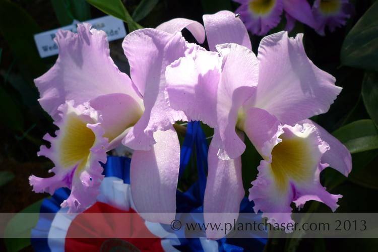Brassolaeliocattleya Spring Queen Blushing Bride