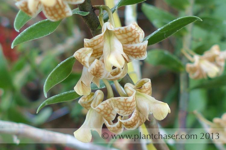 Dendrobium nemorale