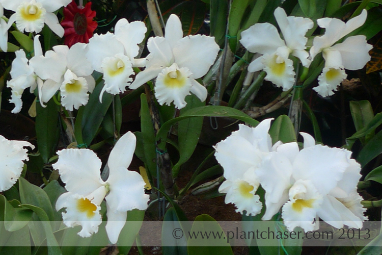 Rhyncholaeliocattleya Malvarosa Wedding Song Bride